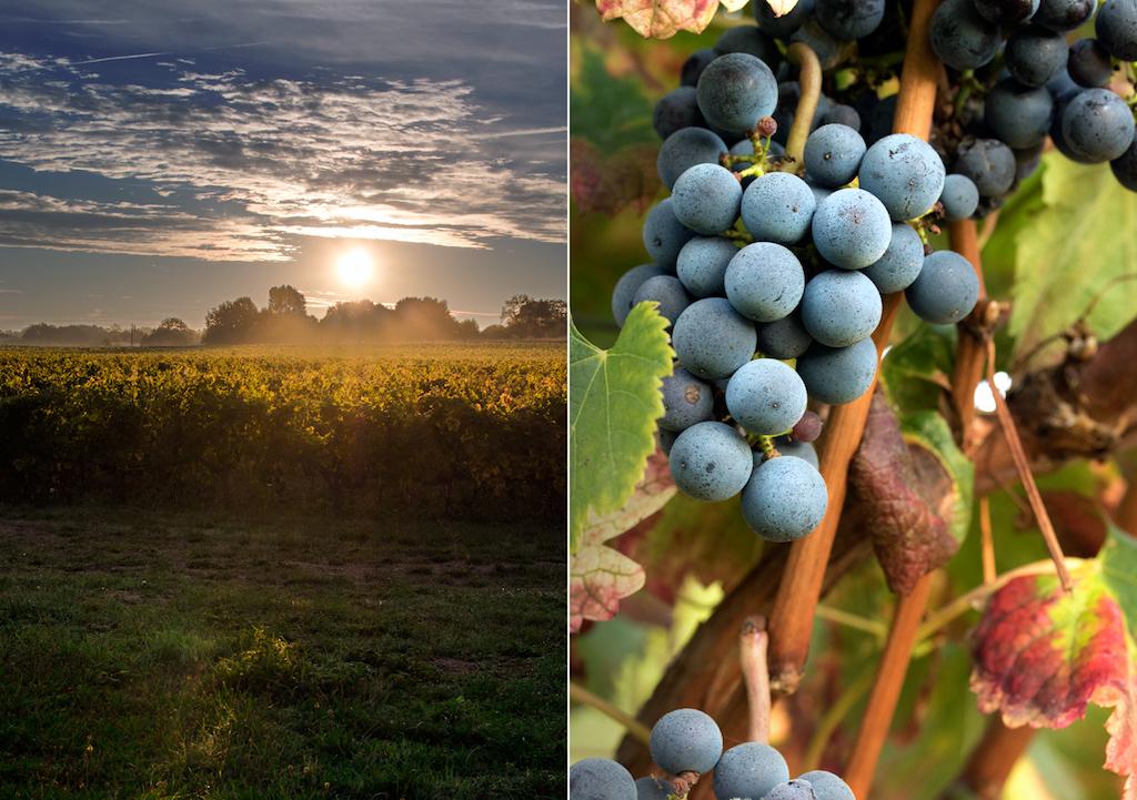 Château des Arras vignes raisins