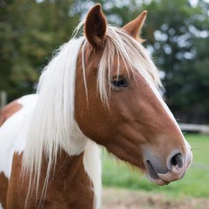 chateau-des-arras-animaux-cheval-pottok