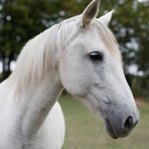 chateau-des-arras-animaux-cheval-andalouse